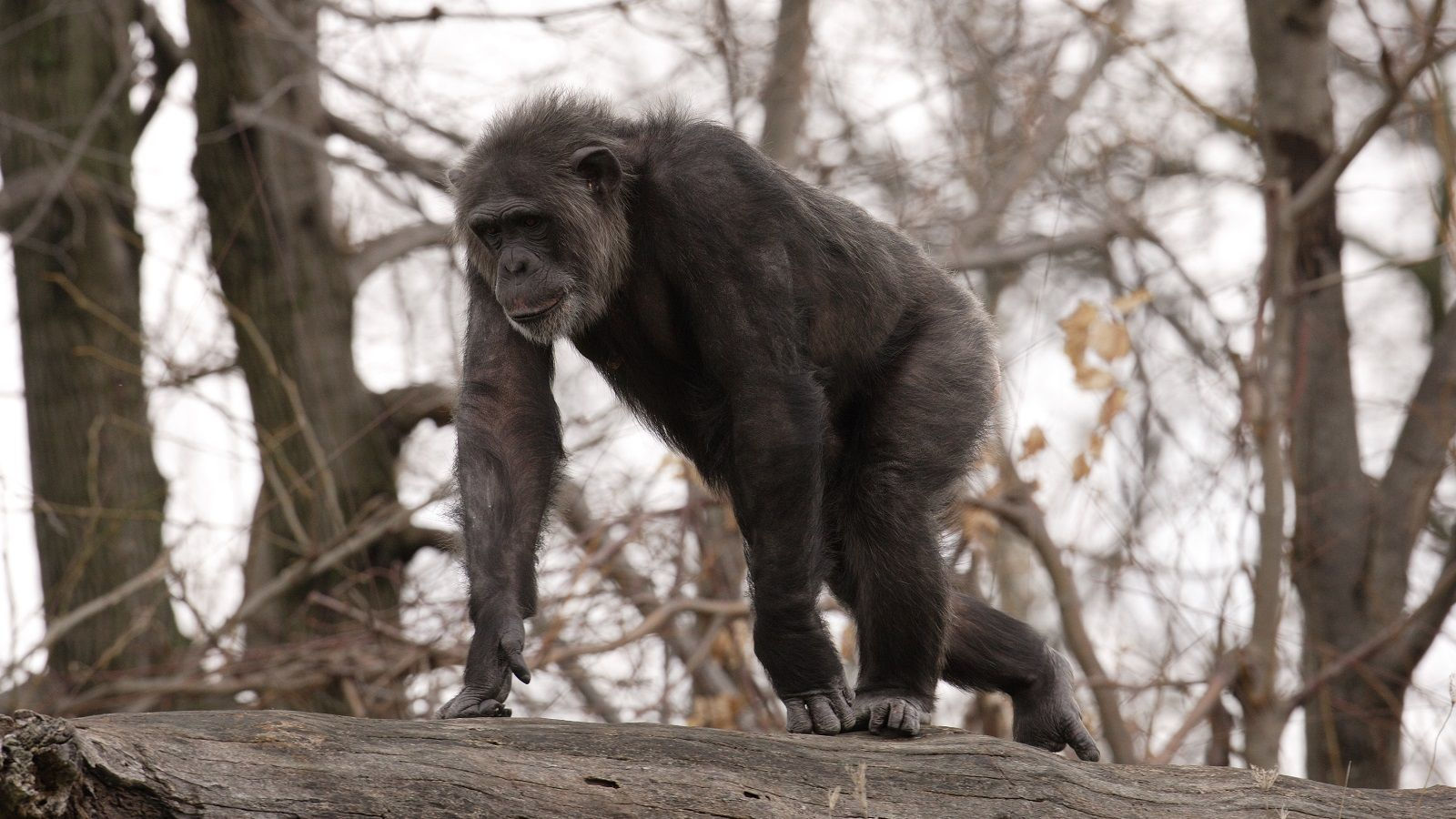 Chimpanzee at the Detroit Zoo